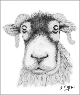 swaledale sheep, sam,