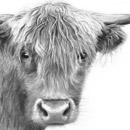 west highland cattle, farm life,