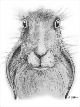 lop eared, rabbit, hare